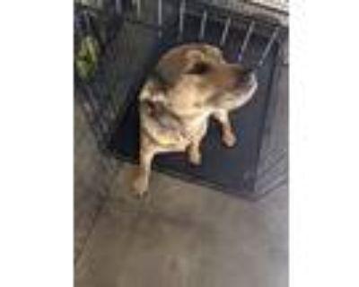 Adopt Scrappy Doo a Brown/Chocolate - with Black Labrador Retriever / Husky /