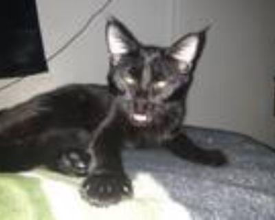 Adopt Shrimp a All Black Domestic Shorthair / Mixed (medium coat) cat in