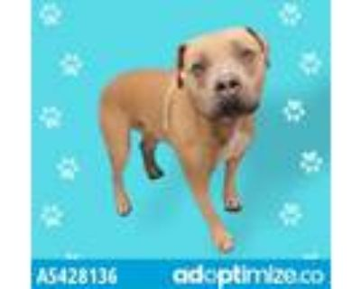 Adopt BUTTON a Tan/Yellow/Fawn American Pit Bull Terrier / Mixed dog in Gardena
