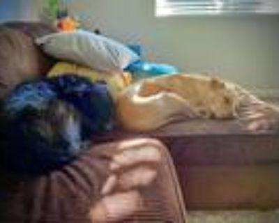 Adopt Cal a Tan/Yellow/Fawn Labrador Retriever / Mixed dog in Aurora
