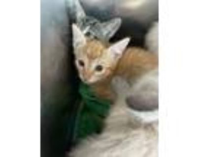 Adopt 48240296 a Orange or Red Domestic Mediumhair / Mixed cat in El Paso