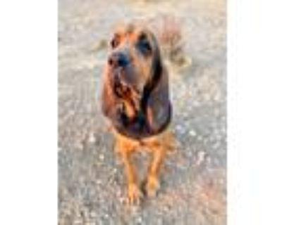 Adopt Herschel a Bloodhound