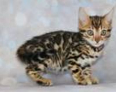 Rosetted TICA Bengal Kittens