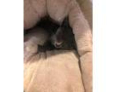 Adopt Camden a Gray or Blue Domestic Shorthair / Domestic Shorthair / Mixed cat