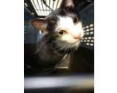 Adopt Twigg a All Black Domestic Shorthair / Domestic Shorthair / Mixed cat in