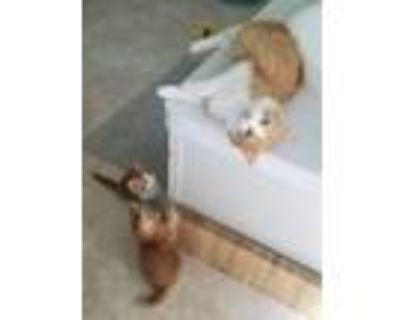 Adopt Momma cat and kittens a Orange or Red (Mostly) Domestic Mediumhair / Mixed