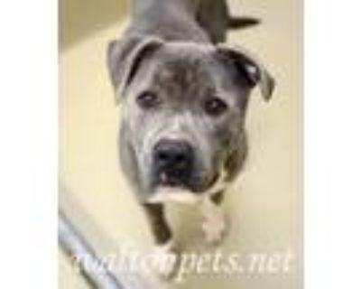 Adopt Slate a Brindle Pit Bull Terrier / Mixed dog in Monroe, GA (31565118)