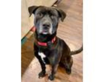 Adopt Fitz, a well mannered boy! a Labrador Retriever, Pit Bull Terrier