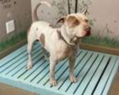 Adopt HECTOR a Pit Bull Terrier