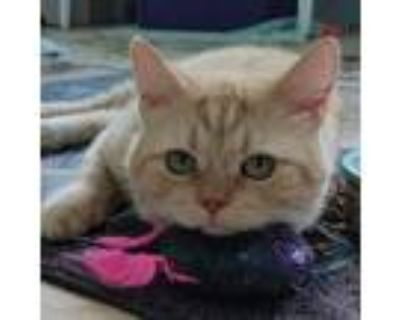 Adopt Cheddar (bonded to Larry) a Domestic Short Hair