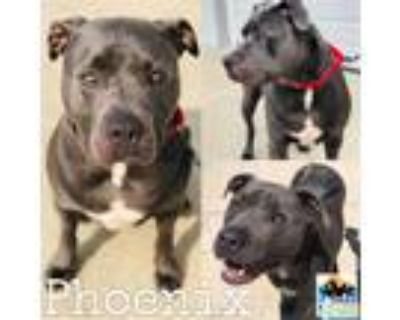 Adopt Phoenix a Gray/Silver/Salt & Pepper - with White Cane Corso / Mixed dog in