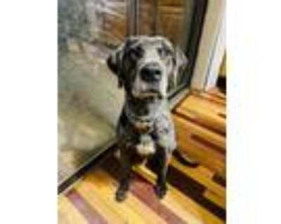 Adopt Jager a Catahoula Leopard Dog, Boxer