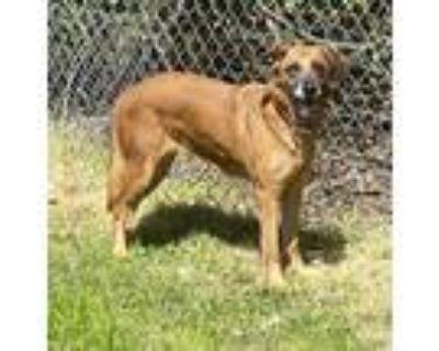 Adopt Charlie a Red/Golden/Orange/Chestnut Shepherd (Unknown Type) / Mixed dog