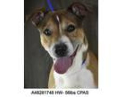 Riggs, Terrier (unknown Type, Small) For Adoption In Shreveport, Louisiana