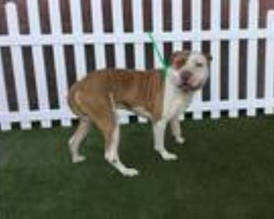 Adopt *GUNTER a Brown/Chocolate - with White American Pit Bull Terrier / Mixed
