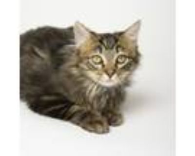 Adopt Lord Fluffington a Maine Coon, Domestic Long Hair