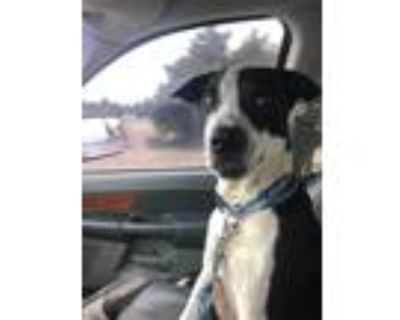 Adopt Rascal a Black - with White Pointer / Great Dane / Mixed dog in Aledo