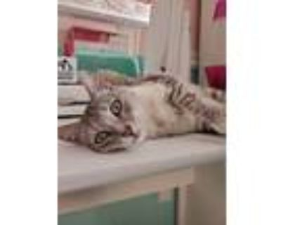 Adopt Jay a Domestic Shorthair cat in Denver, CO (31924787)