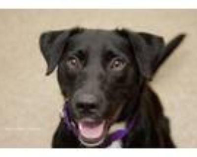 Adopt Chewbarka a Labrador Retriever
