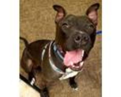 Adopt Hank a American Staffordshire Terrier