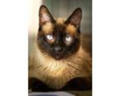 Adopt Philly a Brown or Chocolate Siamese / Domestic Shorthair / Mixed cat in