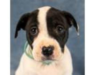 Adopt Ada a Cattle Dog, Labrador Retriever