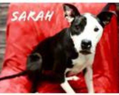 Adopt Sarah a Pit Bull Terrier