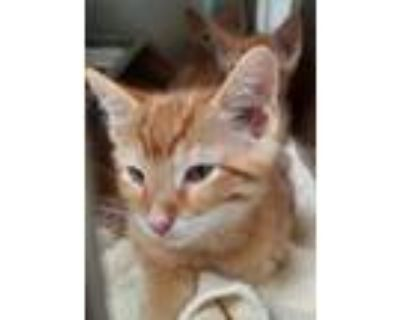 Adopt Vanhi a Orange or Red Domestic Shorthair / Domestic Shorthair / Mixed cat