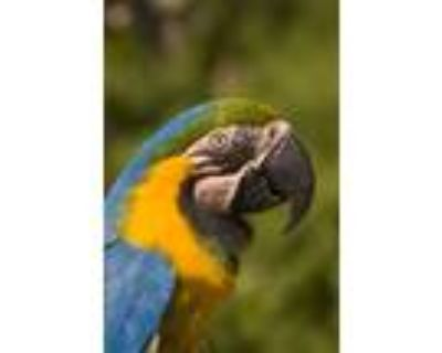 Adopt Samantha a Macaw