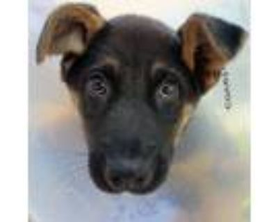 Adopt Jay-Z a Black - with Tan, Yellow or Fawn German Shepherd Dog / Mixed dog