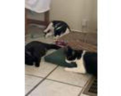 Adopt SJ a Black & White or Tuxedo American Shorthair (short coat) cat in