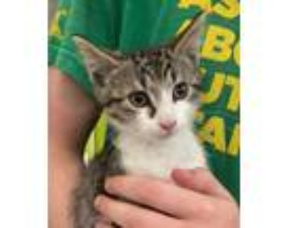 Adopt Beckham a White Domestic Shorthair / Domestic Shorthair / Mixed cat in