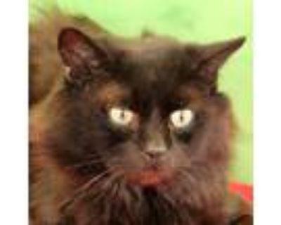 Adopt Bear Cat a Manx, Domestic Short Hair