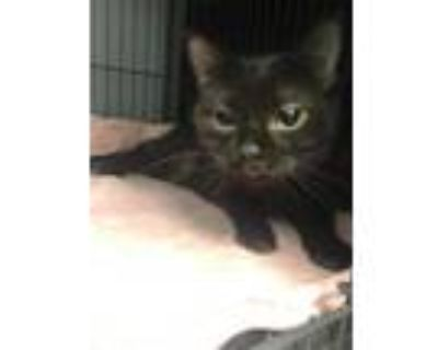 Adopt Ash a All Black Domestic Shorthair / Mixed (short coat) cat in Pittsburgh