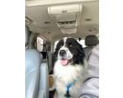 Adopt Ralphy a Great Pyrenees, Border Collie