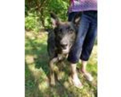 Adopt Archie a German Shepherd Dog
