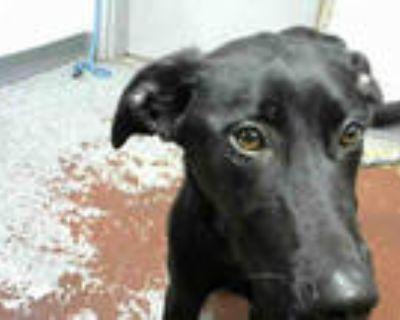 Adopt BOWIE a Black Labrador Retriever / Mixed dog in Atlanta, GA (31486084)