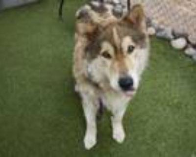 Adopt LOGAN a Collie, Siberian Husky