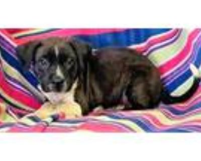 Adopt Tater a Black Border Collie / Terrier (Unknown Type