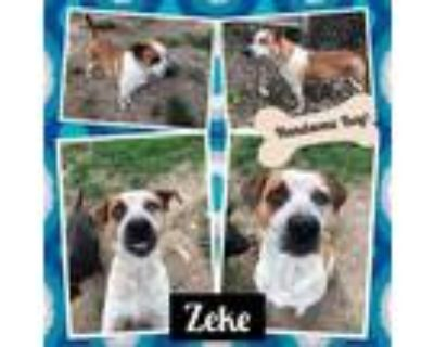 Adopt Zeke a White - with Tan, Yellow or Fawn Australian Cattle Dog / Mixed dog