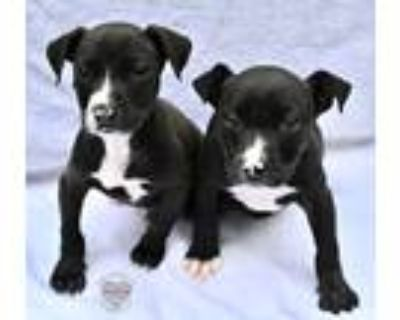 Adopt 3 of 11 Litter a Black Pit Bull Terrier / Mixed dog in Inglewood