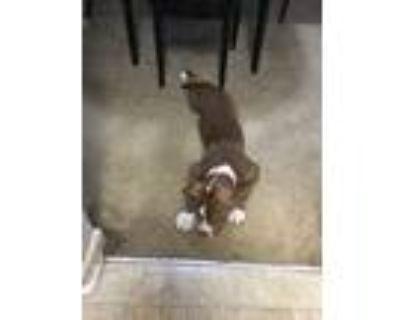 Adopt Hazel a Red/Golden/Orange/Chestnut - with White Pointer / Mixed dog in