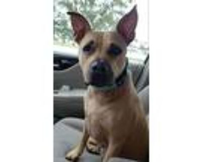 Potato, American Pit Bull Terrier For Adoption In Germantown, Ohio