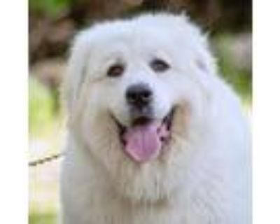 Adopt Astral a Great Pyrenees