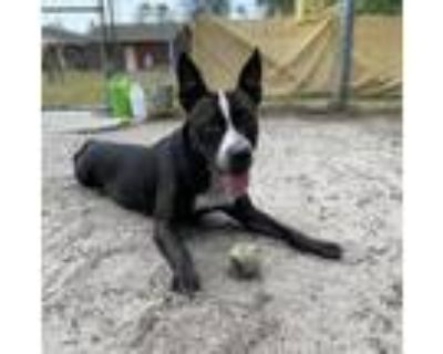 Adopt Zoey a Black - with White Boston Terrier / American Pit Bull Terrier /