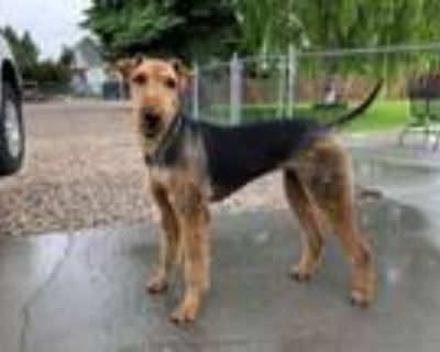Adopt Copper a Airedale Terrier