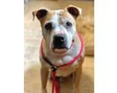 Leland, Pit Bull Terrier For Adoption In Dayton, Ohio