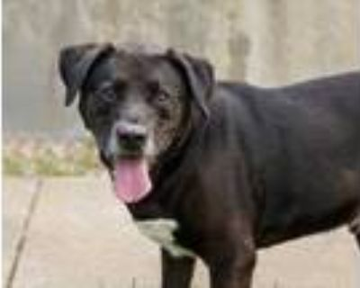 Adopt Flick ($25 Adoption Fee Main Campus) a Black Labrador Retriever / Mixed