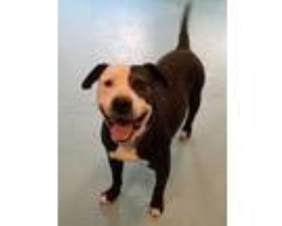 Adopt Flame a Pit Bull Terrier