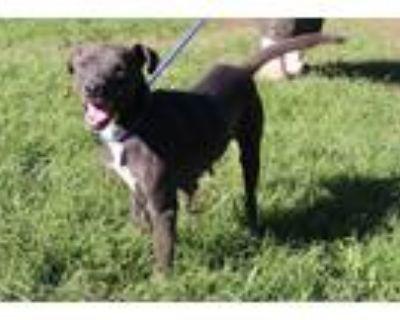 Adopt Juliana Rambo a Black American Pit Bull Terrier / Mixed dog in